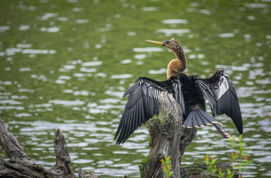 Savannah National Wildlife Refuge Anhinga