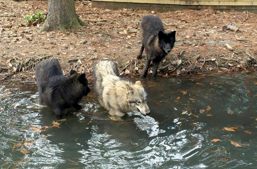 Oatland Island Wildlife Center of Savannah wolves